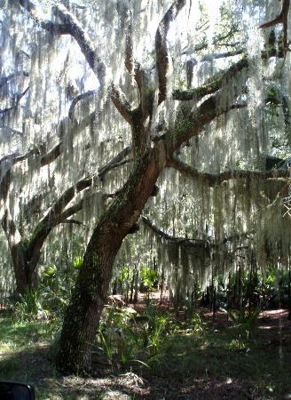 The Lodge on Little St. Simons Island: Spanish Moss