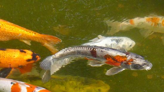 Koi carp fish at the japanese tea garden picture of for Koi pond japanese tea garden san francisco