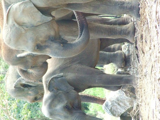Pinnawala Elephant Orphanage: part of the herd