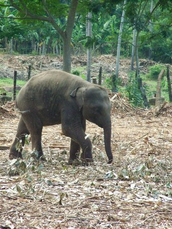 Pinnawala Elephant Orphanage: baby in paddock
