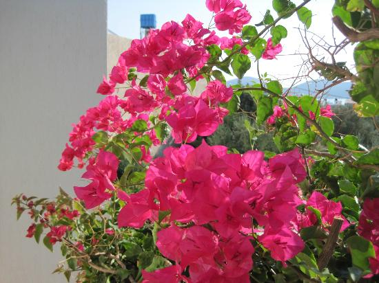 Janet's Apartments Elounda: Bouganvillea on the terrace