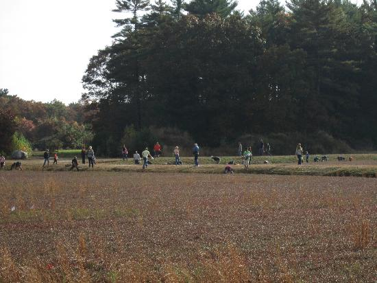 Colonial Lantern Tours: Everyone picking cranberries