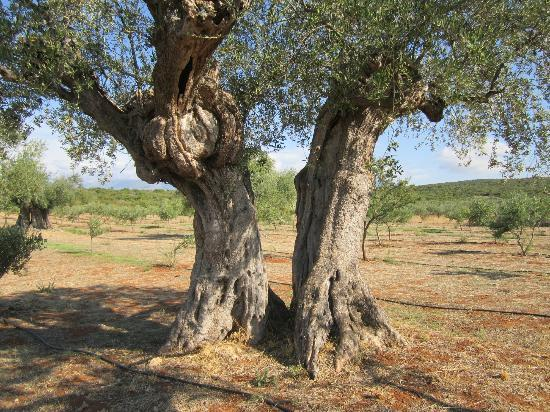 Eumelia Organic Agrotourism Farm &amp; Guest House: 300 year old olive trees