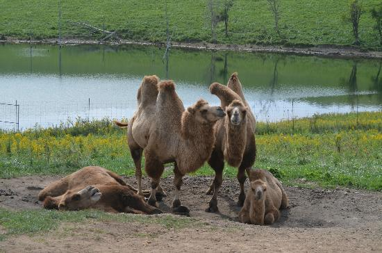 The Wilds: Crazy Camels!