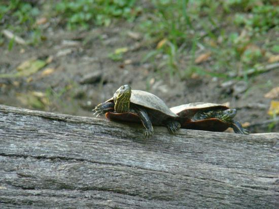 Inn on Crescent Lake: Two turtles sunning themselves on a log on the lake.