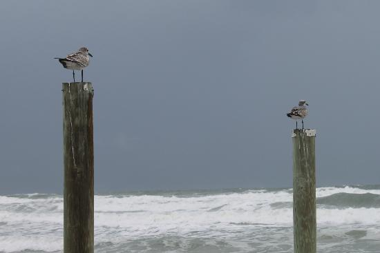 Daytona Beach Regency: Seabirds on posts