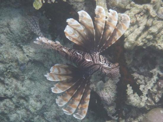 Wakatobi Dive Resort: Lionfish