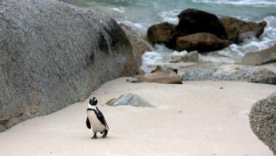 The Twelve Apostles Hotel and Spa: Penguin Colony at Boulders in Simons Town