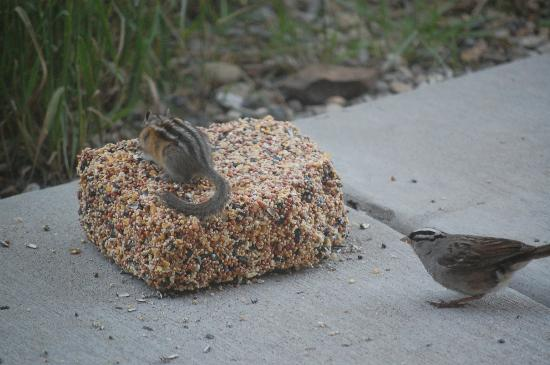 San Moritz Condominiums: Chipmunk and white crowned sparrow on 1st floor patio