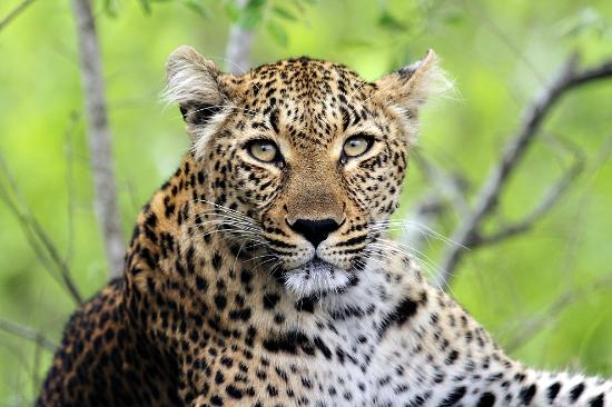 Savanna Private Game Reserve: The elusive leopard - my favorite shot from the trip