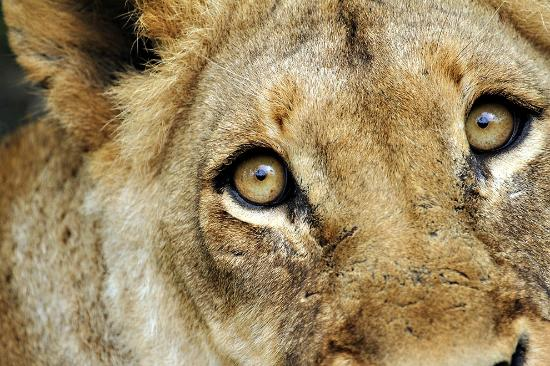 Savanna Private Game Reserve: Incredible focus - this lioness locked on to us