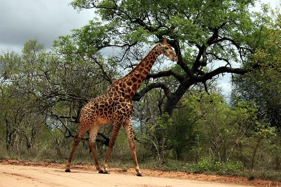 Savanna Private Game Reserve: Giraffe exploring the territory