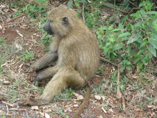 Nairobi National Park: Baboon