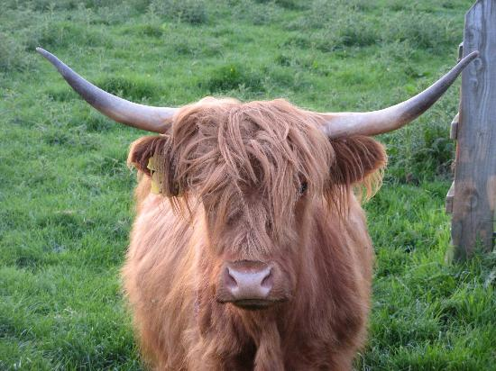 Bedale, UK: Highland cattle