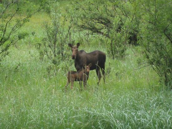 Annie Mae Lodge: Moose and calf as viewed from lodge