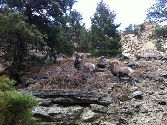 Streamside on Fall River: Big horn sheep