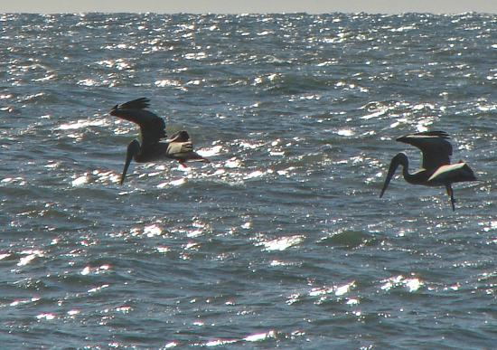 "Outer Banks Motel : Pelican's fish & fly in front of ""our"" beach September 2012"
