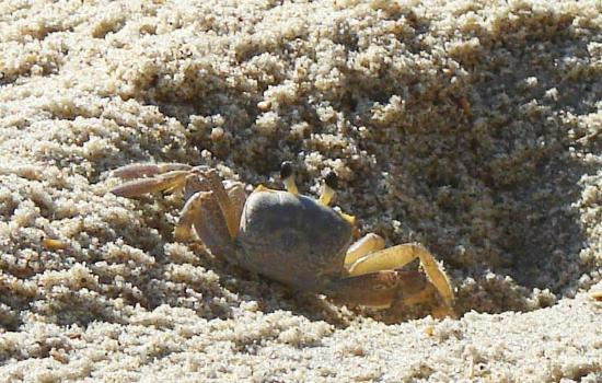 Outer Banks Motel : A sand crab. The Sandpipers love them!