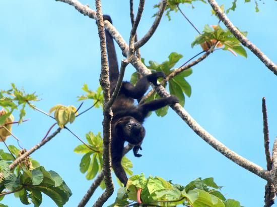 Playa Negra Guesthouse: Howler monkeys above our rooms