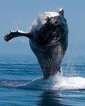 Four Seasons Resort Maui at Wailea: Whale breaching