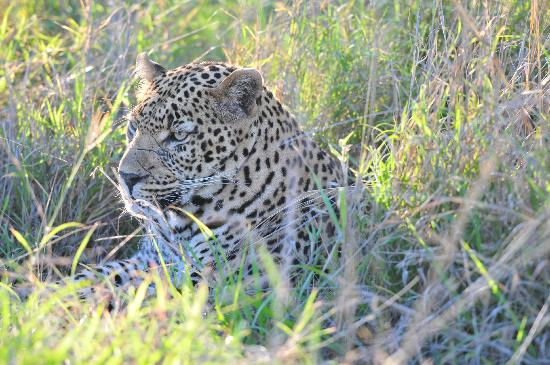 Ulusaba Rock Lodge: another leopard