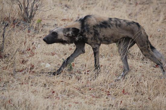 Sango Safari Camp: wild dog