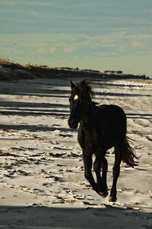 Corolla, Carolina del Norte: Outer Banks Wild Horses on a cold Nov day.
