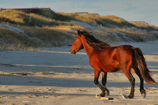 Corolla, NC: Outer Banks Wild Horses on a cold Nov day.
