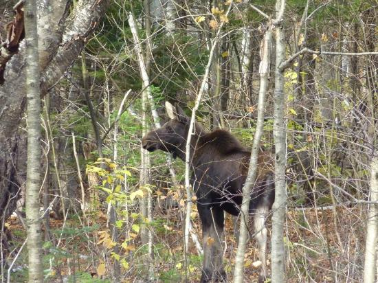 Austin's Holidae House B&B: Moose Calf - Grafton Notch