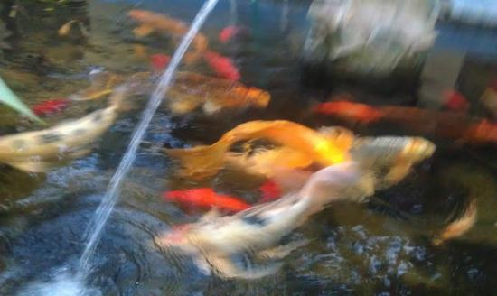 The Avalon Hotel on Catalina Island: Koi in the garden fountain