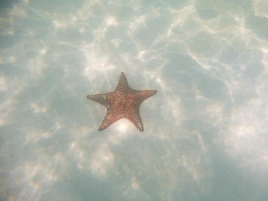 Majestic Colonial Punta Cana: Star fish, underwater picture