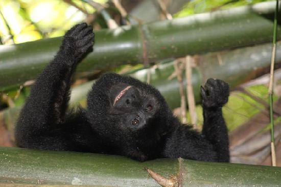 Chabil Mar: Howler Monkey Tours to Monkey River