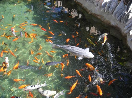 Big fish picture of japanese tea gardens san antonio for Japanese garden san jose koi fish