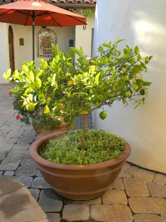 Su Nido Inn (Your Nest In Ojai): lime tree in courtyard