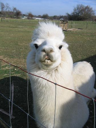 Orchard House Bed and Breakfast: Alpaca