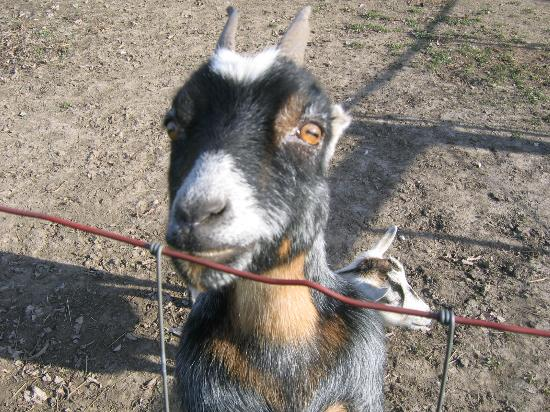 Orchard House Bed and Breakfast: Friendly goat