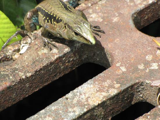 Lost Iguana Resort & Spa: Creatures from around Lost Iquana