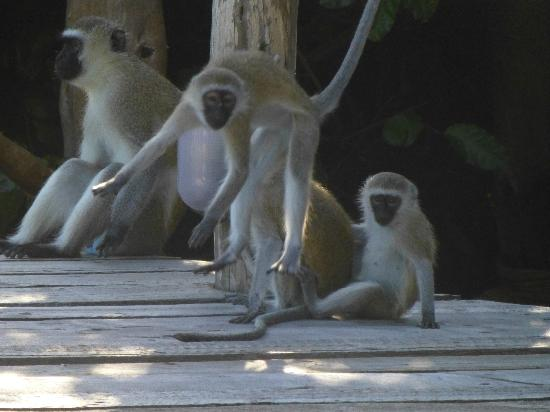 Fundu Lagoon: monkeying around the pool