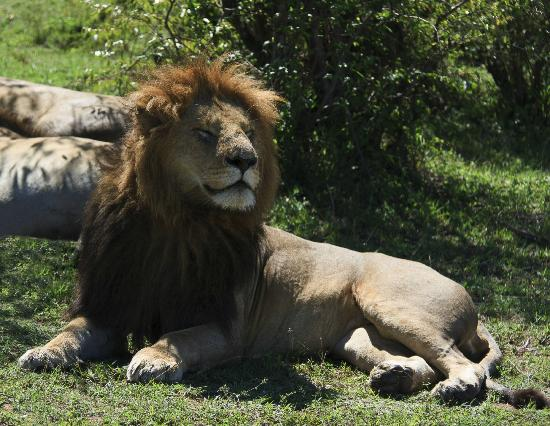 Porini Lion Camp: It's good to be the King!