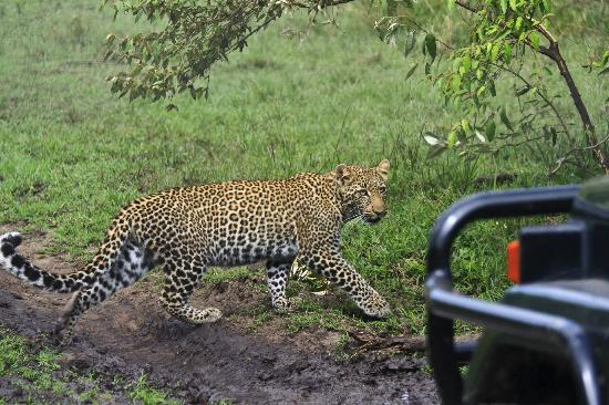 Porini Lion Camp: 'Excuse me, I think I have the right of way here'!