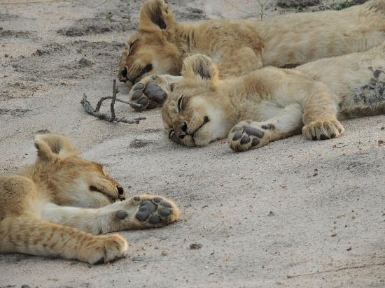 Gomo Gomo Game Lodge: Cubs