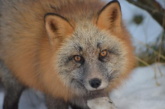 Kodiak National Wildlife Refuge, AK: Cross fox