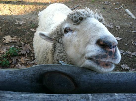 Old Sturbridge Village: Baaaaaaaaaaaaaaaaaaaaaah