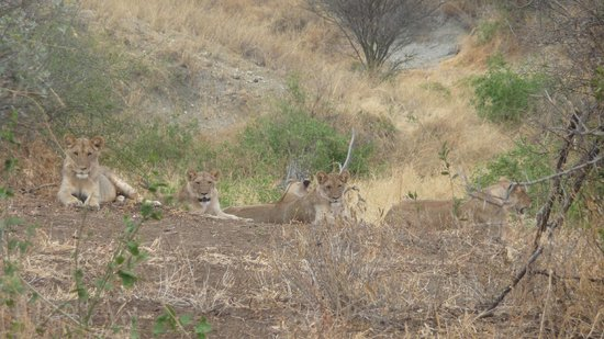 Manyara Ranch Conservancy:                   Our first sight of lions - well fed.