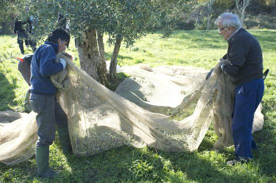 Villa Campestri Olive Oil Resort: Olives being harvested on the grounds.