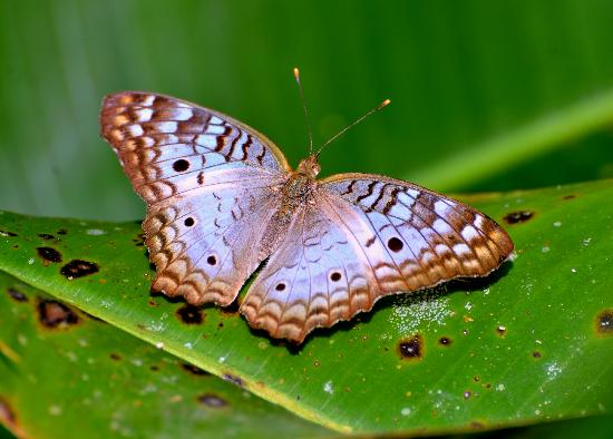 Playa Nicuesa Rainforest Lodge: Butterfly red cracker.