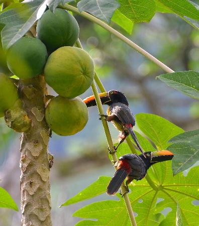 Playa Nicuesa Rainforest Lodge: Fiery-billed Aracari's in fruit tree.