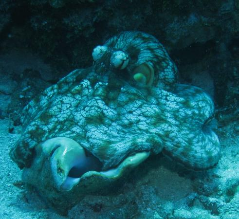 Infinity Bay Spa and Beach Resort: Got an awesome Pic of this Octo on my last dive 2012