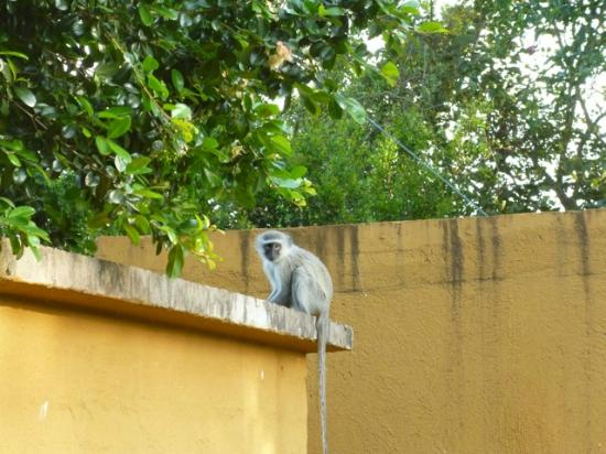 Protea Hotel Hazyview: Large Monkey Group Served as a Wake Up Call