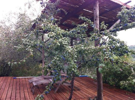 Fattoria San Martino: blueberry tree